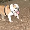 BUDDY (bulldog)_00002