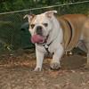BUDDY (bulldog)_00001