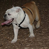 BUDDY (bulldog)_00006