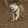 BUDDY (bulldog)_00003