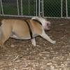 BUDDY (bulldog)_00005