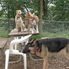 Gracie (pup), Chloe, Faith (shepherd)_00001