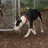 BUD ( bull terrier)_00002
