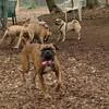 Frankie (pug), rocco, petunia, gracie_00001
