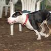 BUD ( bull terrier)_00001