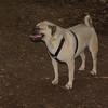 FRANKIE (pug beagle)_00001