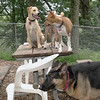Gracie (pup), Chloe, Faith (shepherd)_00002