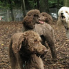 coco, ethel, lucy (poodle)_00001