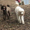 Ethel, lucy (poodles)_00001