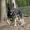 Calie (german shepherd pup)_00002