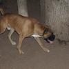 Rocco (new boxer 1yr)_00003