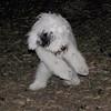PETEY (Tibetan Terrier)_00004