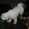 PETEY (Tibetan Terrier)_00002