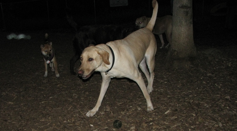 Buddy (yellow lab)_00001