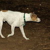 Oliver (jack russell)_00002
