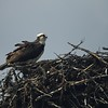 Osprey and His Nest