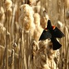 Red Wing Black Bird Against Cat Tails