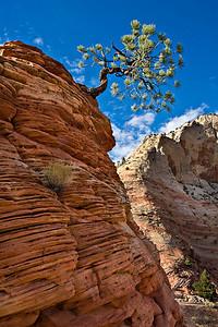 Lone Juniper - Zion National Park