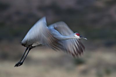 Sandhill Crane - Morning Flight -Bosque del Apache, NM - Nov, 2008