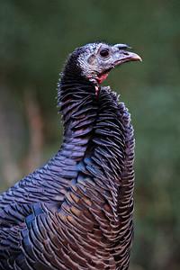 Wild Turkey, Zion, Utah
