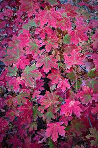 Fall maple leaves, Lower Emerald Pools Trail, Zion NP, Utah