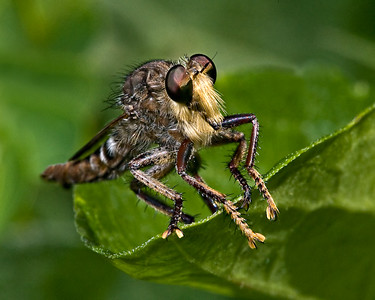 Robber Fly - Mercer Arboretum, TX There are over 4,000 recognized species of Robber Flies. They are considered the raptors of the insect world.