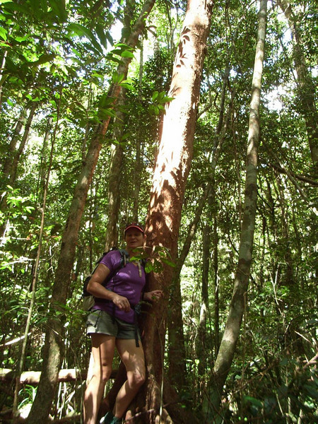 """Paperbark Satinash Tree<br /> <a href=""""http://asgap.org.au/s-pap.html"""">http://asgap.org.au/s-pap.html</a>"""