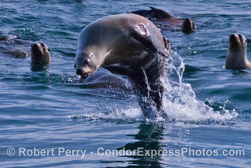 Zalophus rafting & leaping 2008 01-02 SB Harbor--020