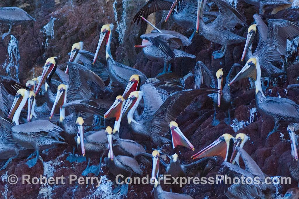 Pelecanus occidentalis large flock on rocks 2008 01-02 Sta Cruz Island--079