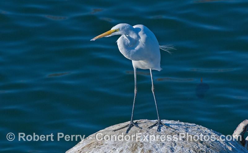 great egret Ardea alba on mooring can 2008 01-13 SB Harbor -571