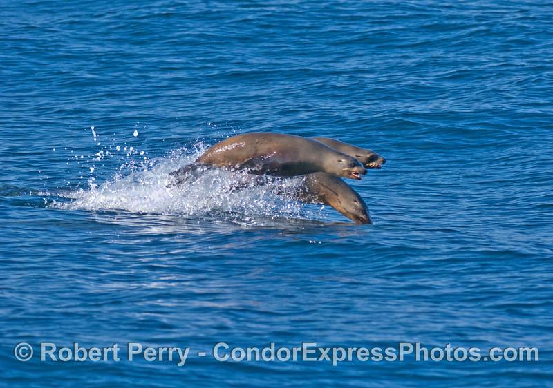 Zalophus leaping 2008 01-13 Sta Cruz Passage-460