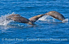 Zalophus leaping 2008 01-13 Sta Cruz Passage-459