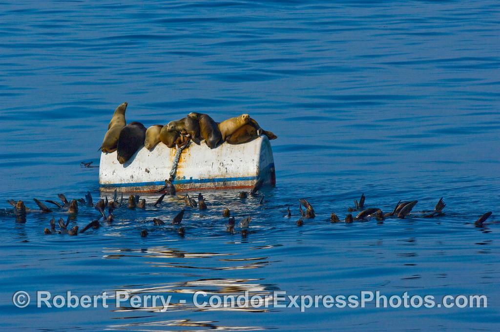 Zalophus on mooring can & large raft in water 2008 02-17 Sta Barbara -- 101mod