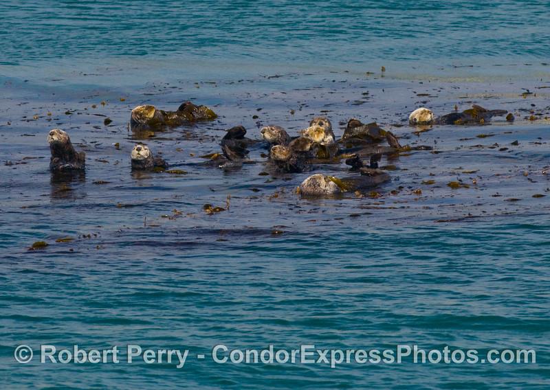 Enhydra lutris group in kelp 2008 02-17 Sta Barbara -- 303modCROP