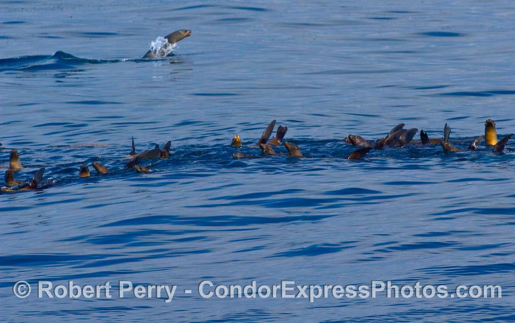 Zalophus raft line w one jumper 2008 02-17 Sta Barbara -- 038modCROP