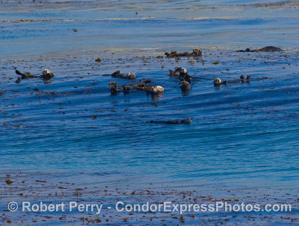 Enhydra lutris group in kelp 2008 02-17 Sta Barbara -- 132modCROPsmall