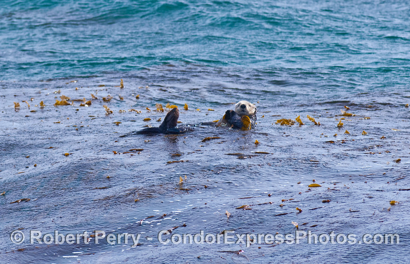 Enhydra lutris in kelp 2008 02-23 Sta Barbara -- 038