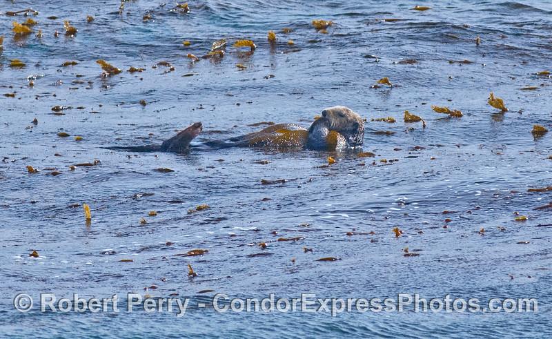 Enhydra lutris in kelp 2008 02-23 Sta Barbara -- 033