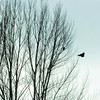 Citizen photo by Brent Braaten A couple of crows hang out in a tree along Tabor Blvd Sunday afternoon.
