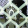 Citizen photo by Brent Braaten Blue Angel a 1 year old pitbull siezed by animal control and being kept at the SPCA.