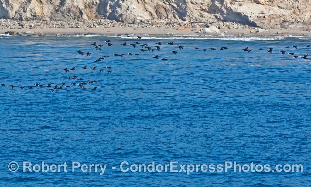 Melanita perspicillata flock near shore in flight 2008 03-24 SB Channel -- 1073