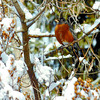 Citizen photo by David Mah A robin waits for the sun to warm it up after snow fall Wednesday night. The bird, along with others was on Kenwood Street.
