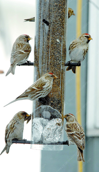 Citizen photo by Brent Braaten The backyard of Les Bricker's Radcliffe Drive home  with feeders and lots of birds.