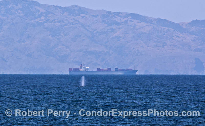 Megaptera novaengliae & Container Vessel & Sta Cruz Isl background  2008 05-26 SB Channel-026