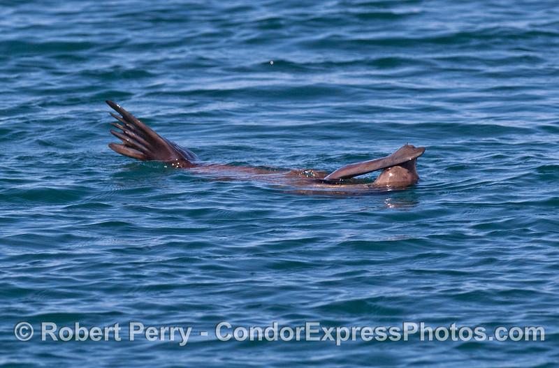 Zalophus in water scratching head 2008 05-27 Anacapa--061