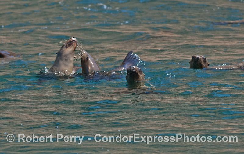 Zalophus socializing in water 2008 05-27 Anacapa--084