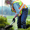 Citizen photo by David Mah Brenda Torraville with the City of Prince George Parks digs out a juniper bush at the Highways 97 and 16 flower bed. The bed will be re-shaped for improved aesthetics.