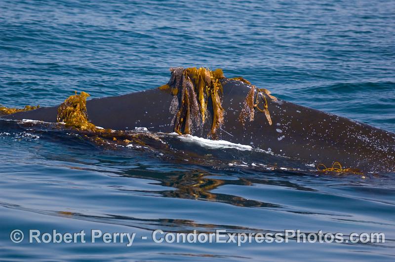 Megaptera novaengliae dorsal fin draped in kelp 2008 06-08 SB Channel--154