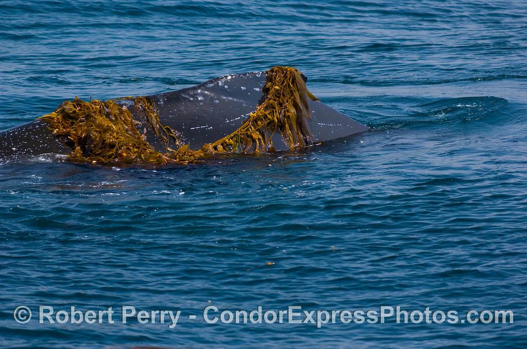 Megaptera novaengliae kelp draped on dorsal fin 2008 06-08 SB Channel--194
