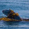 Megaptera novaengliae pectoral fin in kelp 2008 06-08 SB Channel--173
